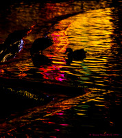 Ducks and colorful reflections