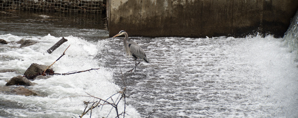 Day 11 - Heron Fishing below the Weir on Doe River