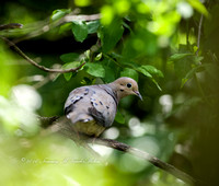 Mourning Dove Peek-a-Boo