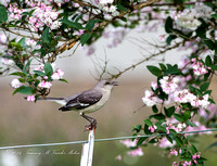Spring Mockingbird